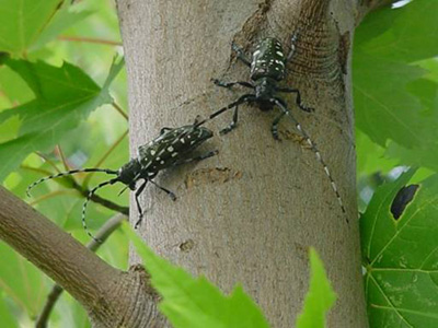 Asian Longhorned Beetle Page
