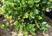 Photo of Boxwood Blight