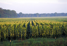 Photo of a corn field - Click to enlarge