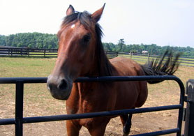 Photo of a Retired Standardbred Horse - Click to enlarge