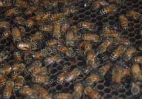 Photo of bees - Click to enlarge