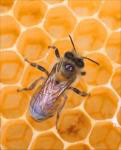 Photo of bee - Click to enlarge