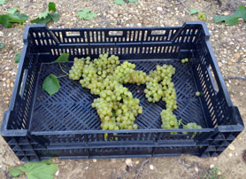 Photo of just harvested chardonnay grapes - Click to enlarge