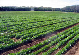 Photo of a farm field - Click to enlarge