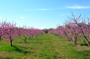 Photo of flowering fruit trees - Click to enlarge