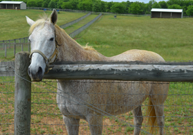 Photo of a Thoroughbred horse at Hidden Acres 4-D Farm - Click to enlarge