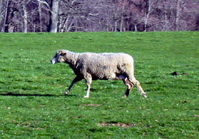 Photo of a sheep - Click to enlarge