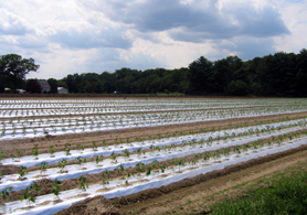Photo of mulch film in a field in South Jersey - Click to enlarge