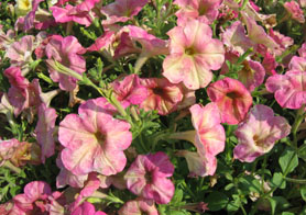 photo of petunias - Click to enlarge