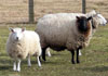 Photo of New Jersey Sheep