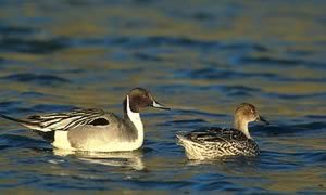 dep photo: A Pintail pair at Tule Lake National Wildlife Refuge, courtesy of Dave Menke/USFWS