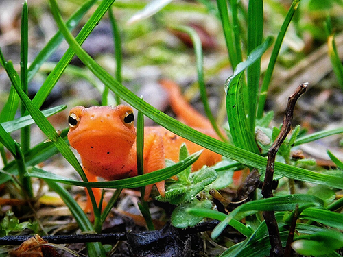 Red Spotted Newt by Janice Annunziata.