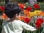 Child discovering colorful tulips