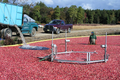Cranberries being harvested in the Pinelands